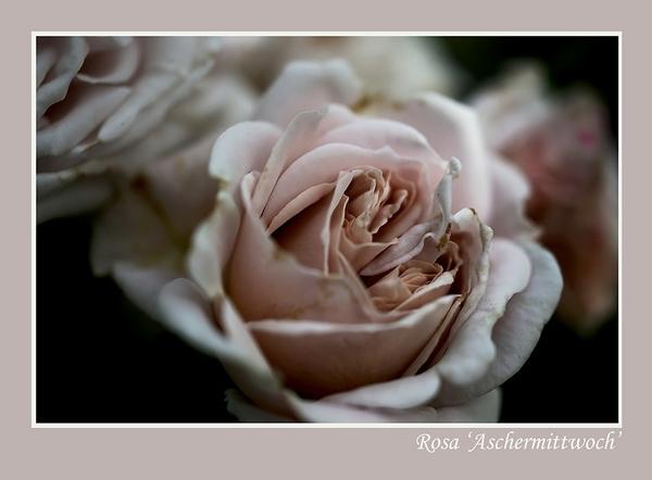 Rosa 'Aschermittwoch' 2 - Roses