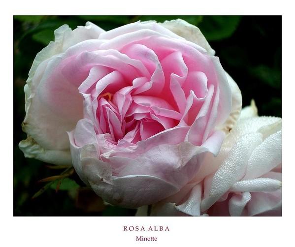 Rosa alba 'Minette' 1 - Roses