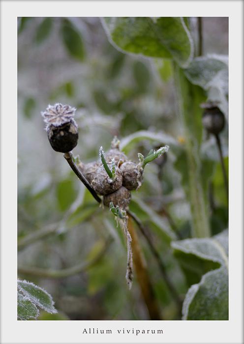 Allium and Opium - Still Life