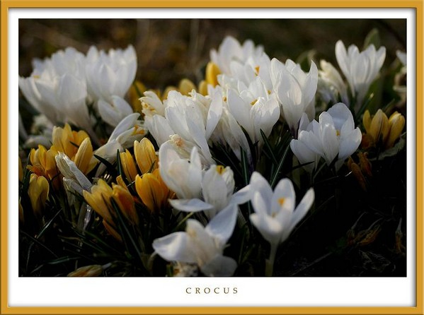 Crocus - Garden perennials