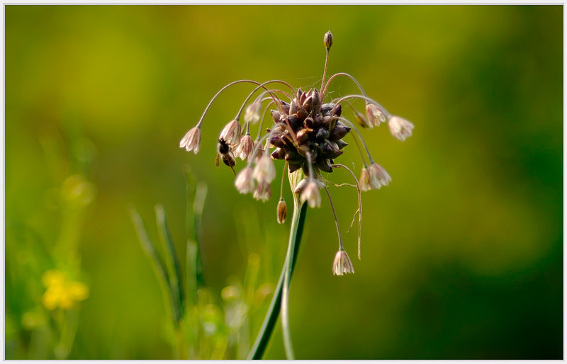 Allium oleraceum 2 - Garden perennials