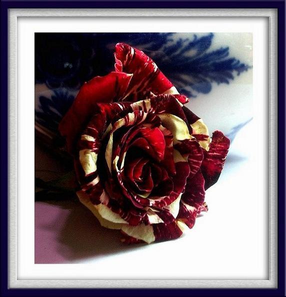 A Rose by China - Still Life