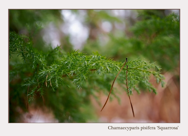 Chamaecyparis pisifera 'Squarrosa' - Trees and Shrubs