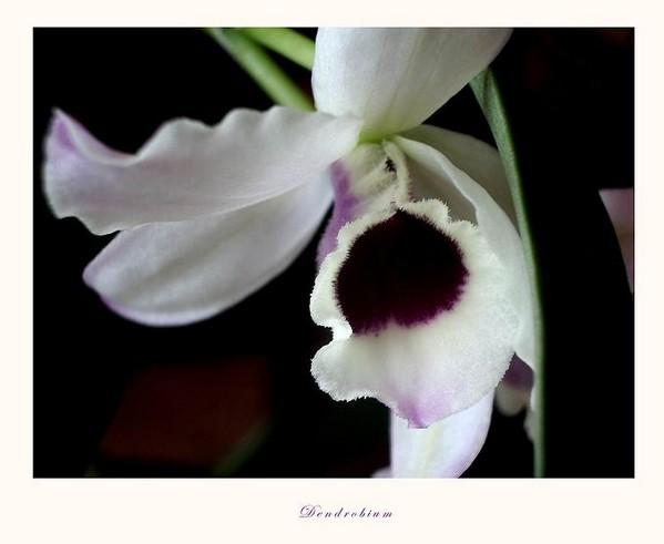 Dendrobium nobile hybr. 2 - Orchids