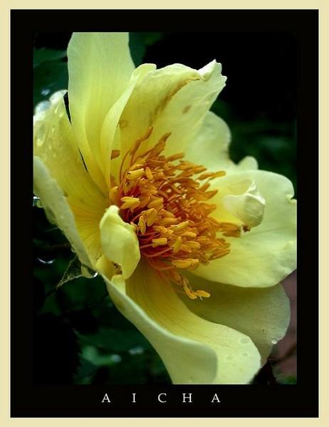 Rosa 'Aicha' 1 - Roses