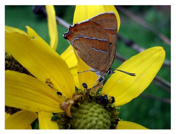 Thecla betulae - Fauna