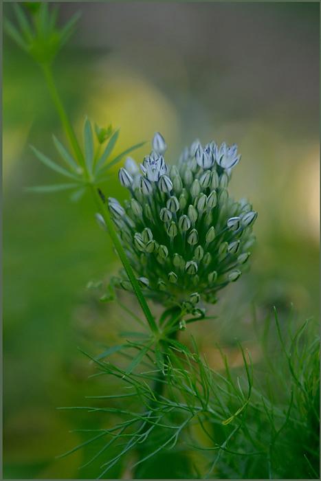 Allium cyaneum - Garden perennials