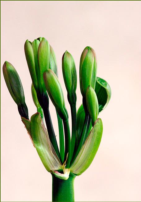 Clivia miniata Green 2 - Windowsill Garden