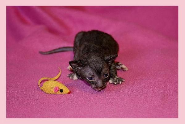 10 days - b/w girl - Linssi's kittens