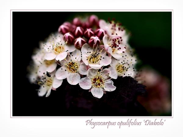 Physocarpus opulifolius 'Diabolo' - Trees and Shrubs