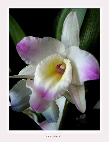 Dendrobium nobile hybr. 3 - Orchids
