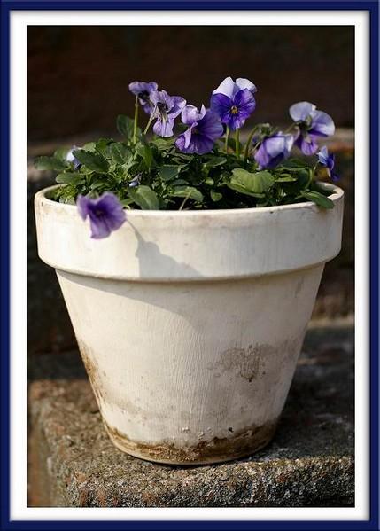 Spring Violets - Still Life