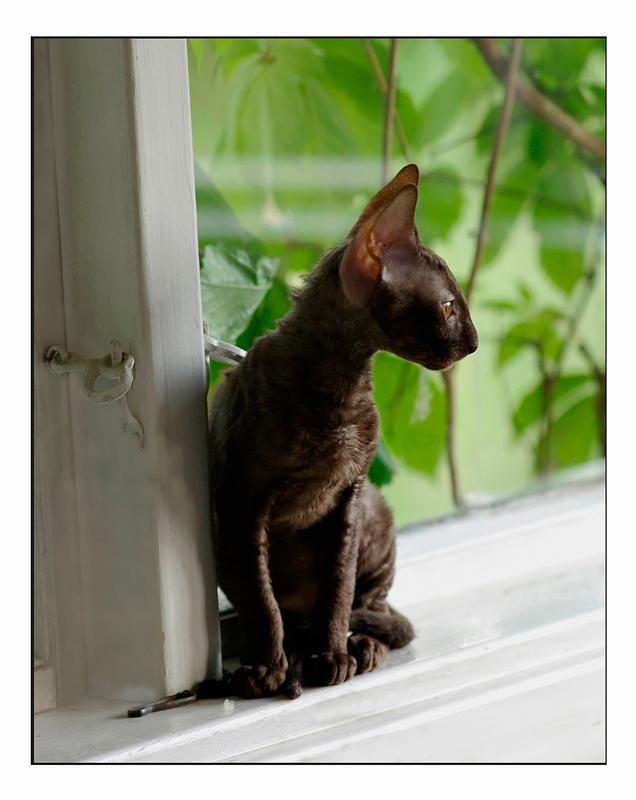 Coco 12 weeks - 1 - Mimmi's kittens