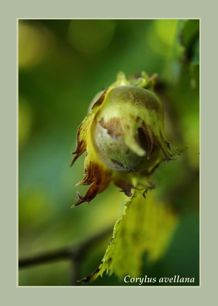 Corylus avellana - Trees and Shrubs