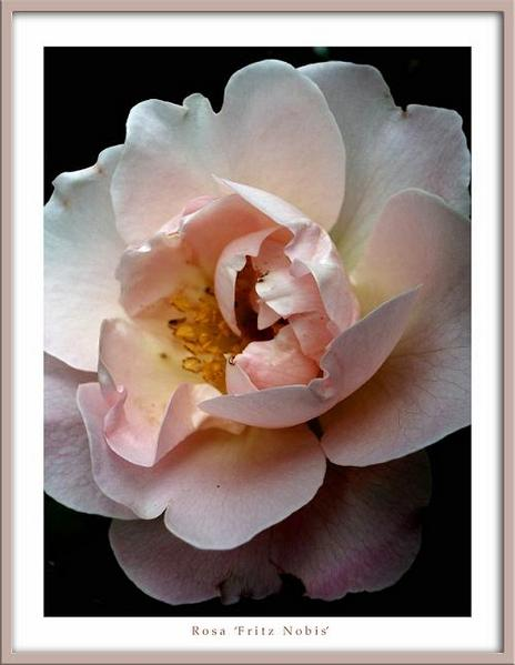 Rosa 'Fritz Nobis' - Roses