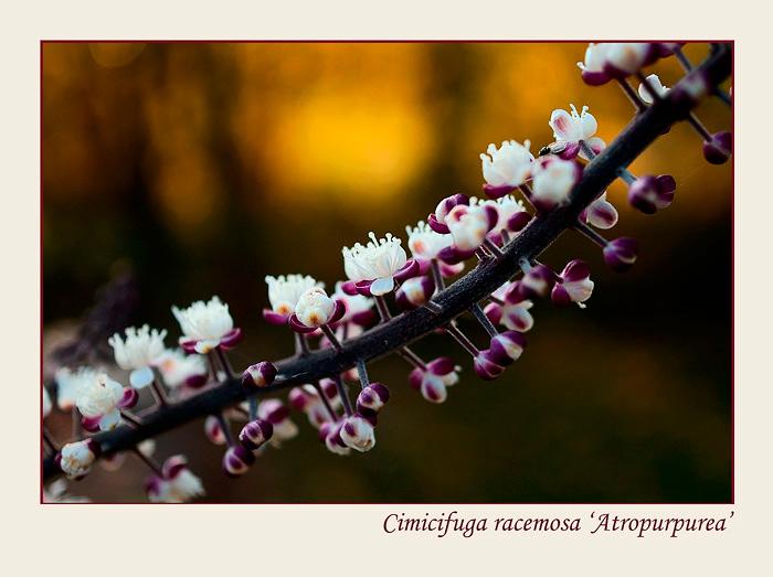 Cimicifuga racemosa 'Atropurpurea' 1 - Garden perennials