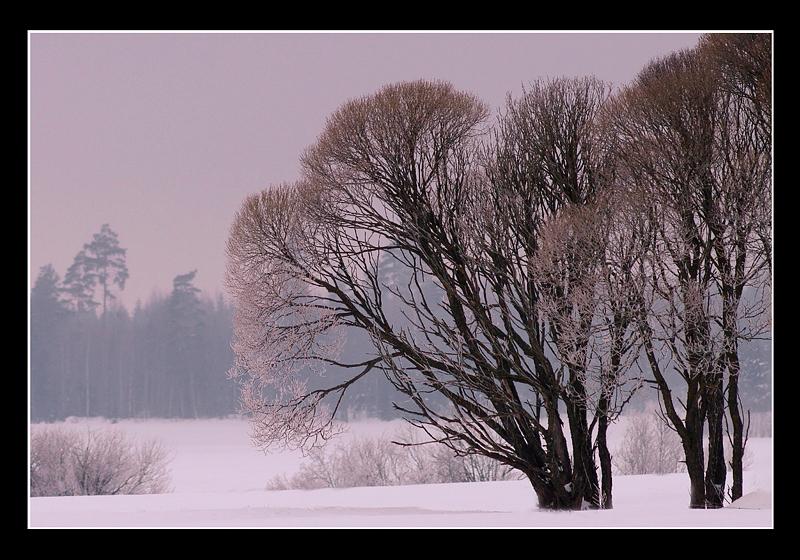 Salix fragilis 'Bullata' - Trees and Shrubs