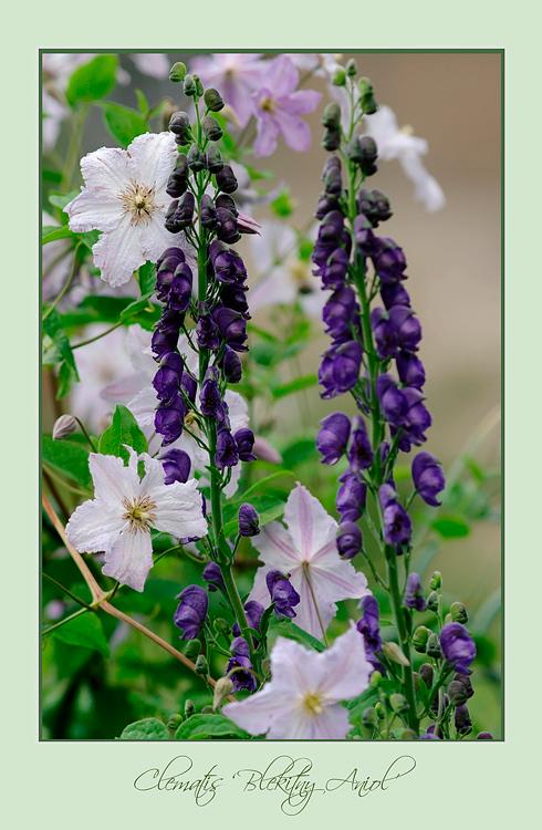 Clematis 'Blekitny Aniol' - Garden perennials