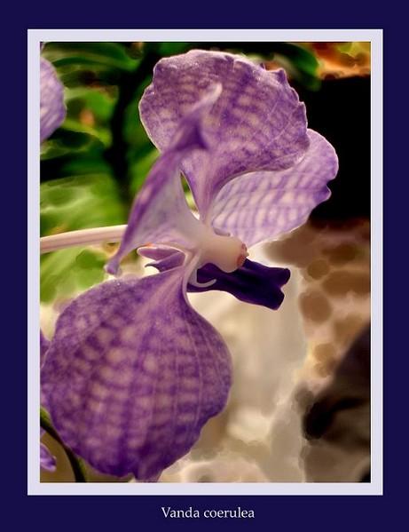 Vanda coerulea 2 - Orchids