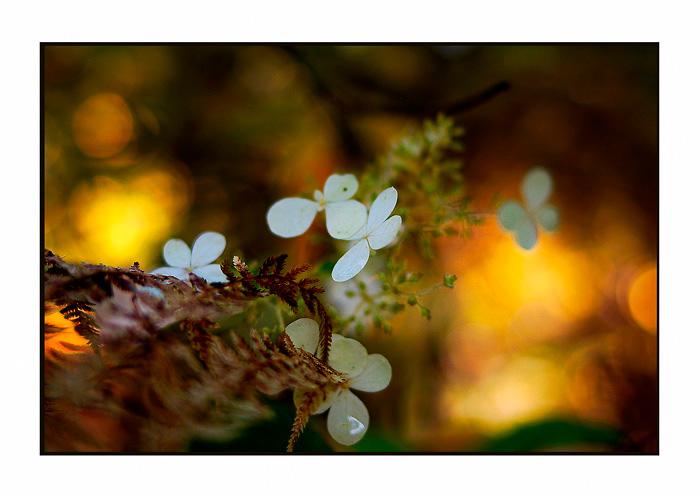 Hydrangea paniculata 'Mustila' - Trees and Shrubs
