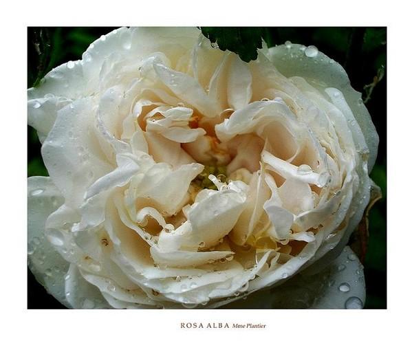 Rosa alba 'Mme Plantier' 2 - Roses