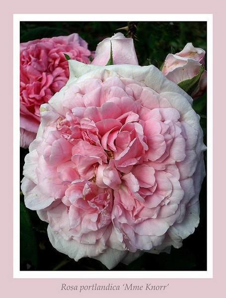 Rosa 'Mme Knorr' 4 - Roses