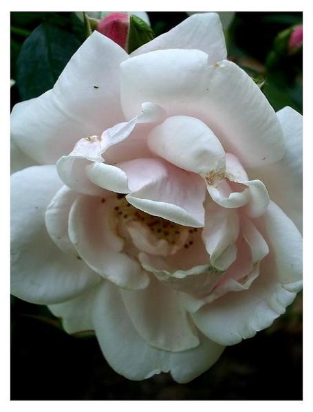 Rosa 'New Dawn' - Roses
