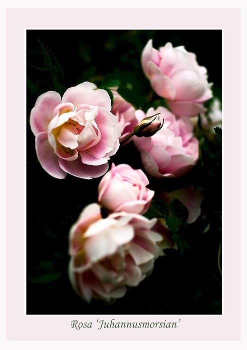 Rosa 'Juhannusmorsian' 1 - Roses