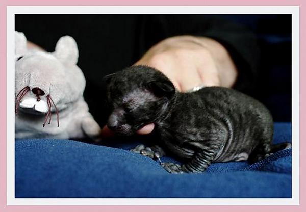 12 days - black girl - Linssi's kittens - the 2nd litter