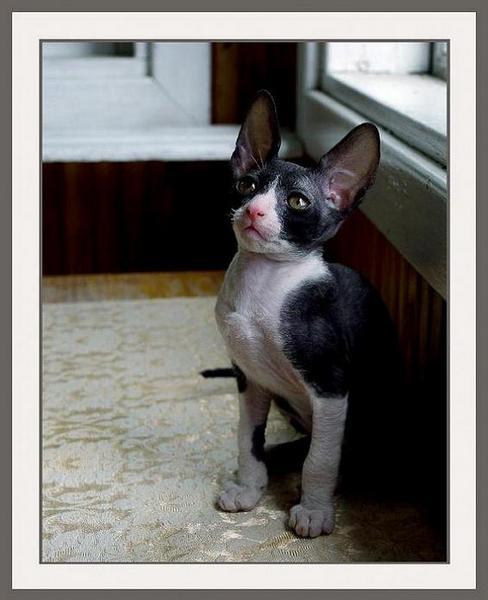 B/W girl - Linssi's kittens - the 2nd litter