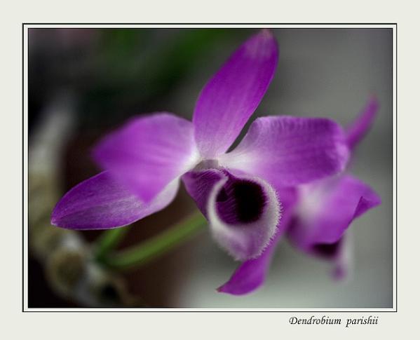 Dendrobium parishii 1 - Orchids