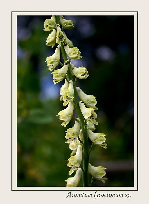 Aconitum lycoctonum sp. 1 - Garden perennials