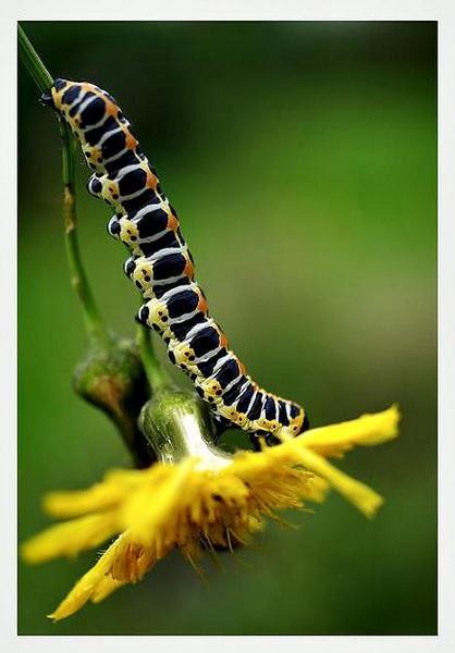 Cucullia lactucae - Fauna