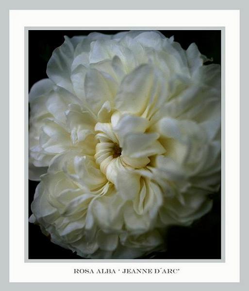 Rosa alba 'Jeanne d´Arc' - Roses