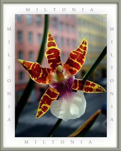 Miltonia clowesii - Orchids
