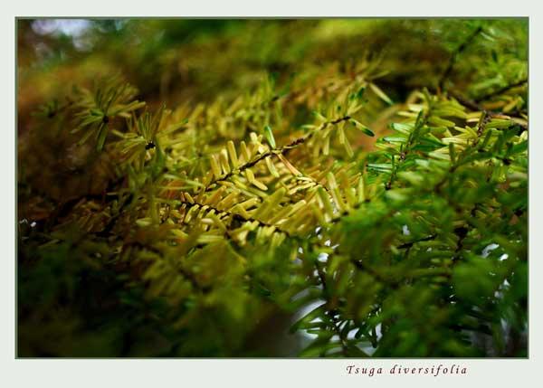 Tsuga diversifolia - Trees and Shrubs
