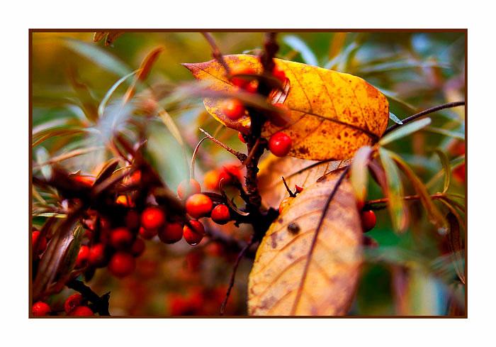 Hippophae rhamnoides - Trees and Shrubs