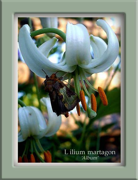 Diachrysia chrysitis - Fauna