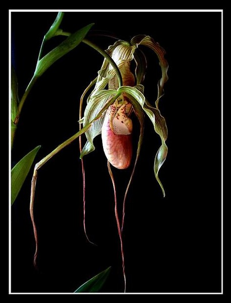 Phragmipedium grande x - Orchids