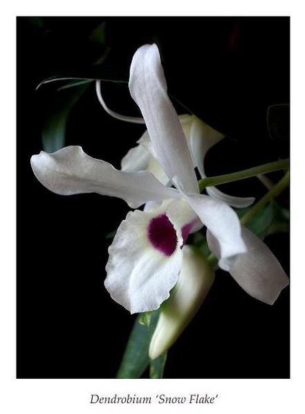 Dendrobium 'Snow Flake' 1 - Orchids