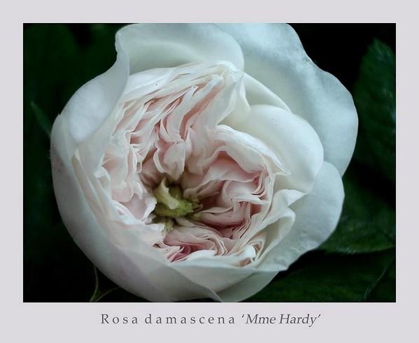 Rosa damascena 'Mme Hardy' 1 - Roses