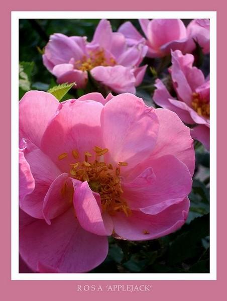Rosa 'Applejack' - Roses