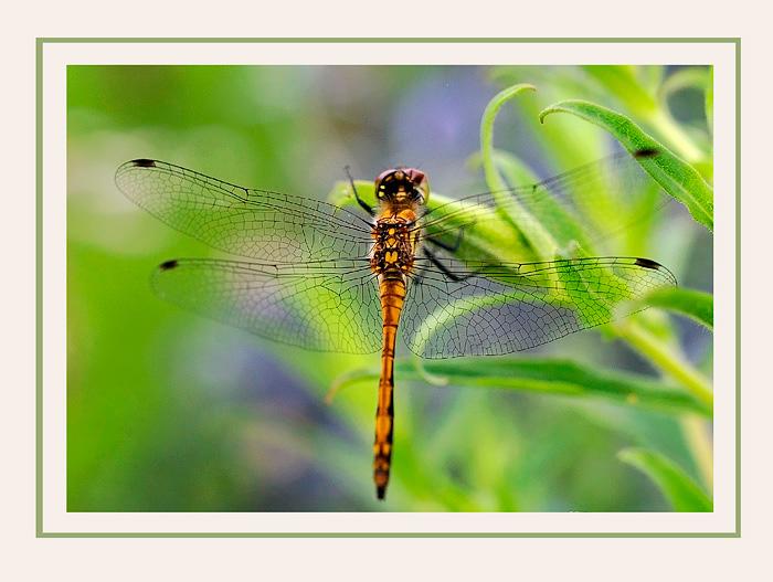 Sympetrum danae 2 - Fauna