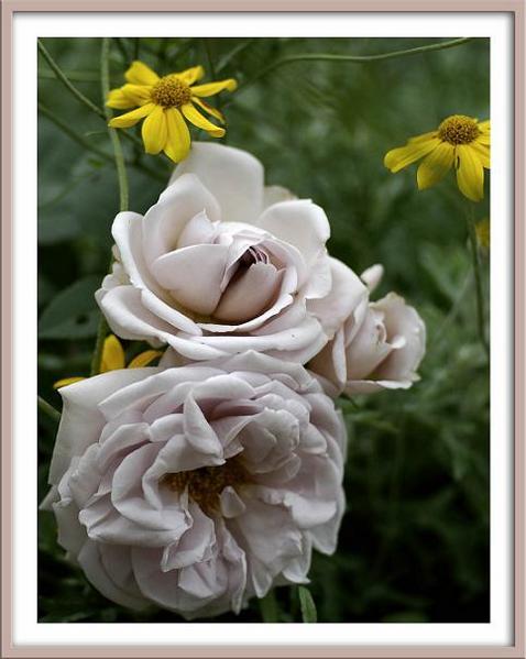 Rosa 'Aschermittwoch' 1 - Roses
