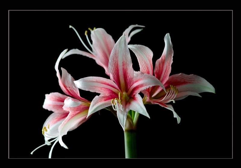 Hippeastrum 'Sweet Lilian' - Windowsill Garden