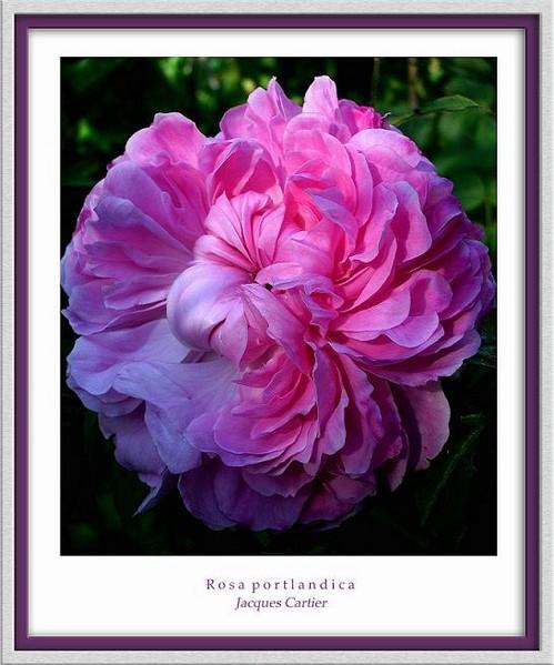 Rosa 'Jacques Cartier' - Roses