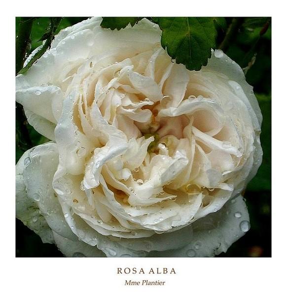 Rosa alba 'Mme Plantier' 1 - Roses