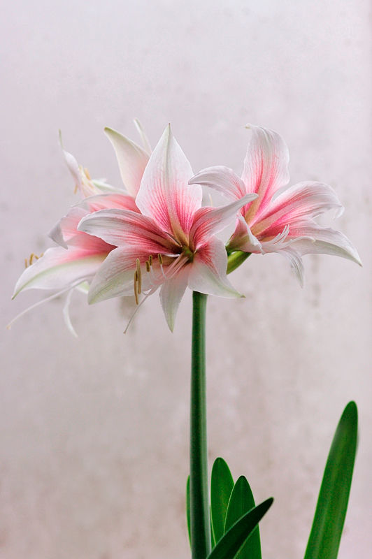Hippeastrum 'Sweet Lilian' 3 - Windowsill Garden