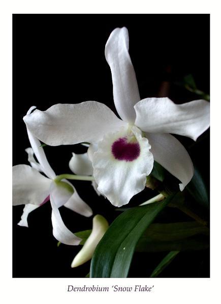 Dendrobium 'Snow Flake' 2 - Orchids