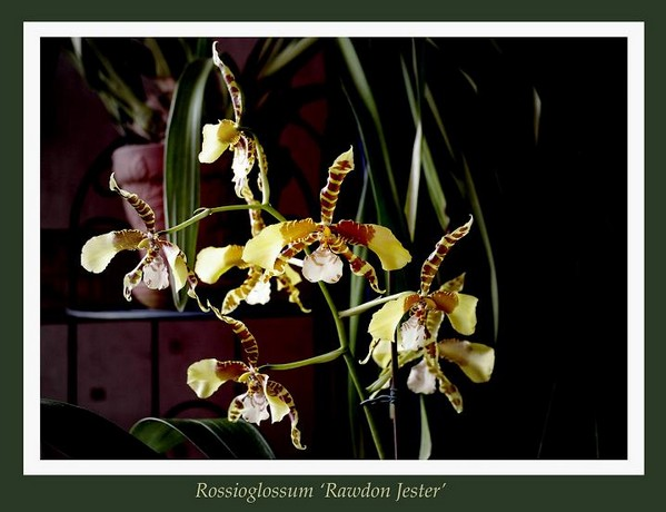 Rossioglossum 'Rawdon Jester' - Orchids
